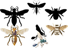 Hymenopteran Stock Illustrations.
