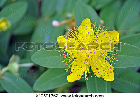 Stock Photo of Rose of Sharon k10591762.