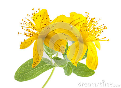 St. John's Wort (Hypericum Perforatum) Flower Royalty Free Stock.