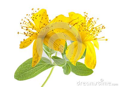 Hypericaceae clipart #9