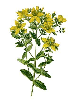 Hypericaceae clipart #12