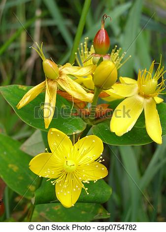 Stock Photo of hypericum.