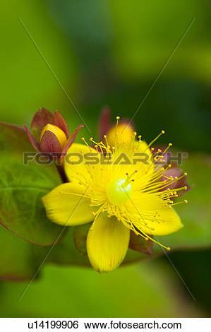 Hypericaceae clipart #10