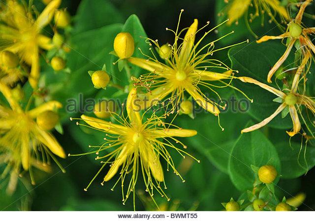 Hypericaceae clipart #4