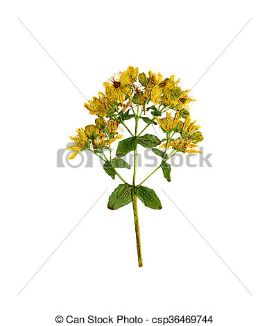 Stock Photo of Pressed and dried flower hypericum perforatum.