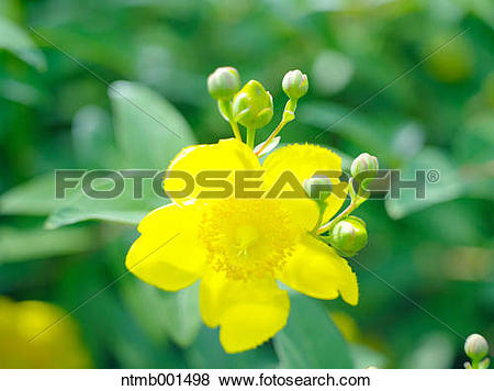 Pictures of Hypericum ntmb001498.