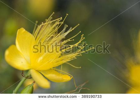 Hypericaceae clipart #16