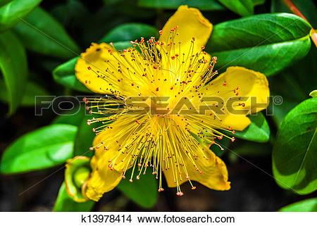 Hypericum calycinum clipart #19