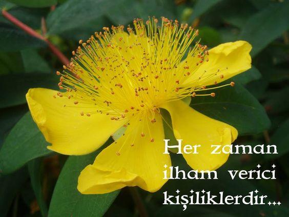Hypericum calycinum clipart #7