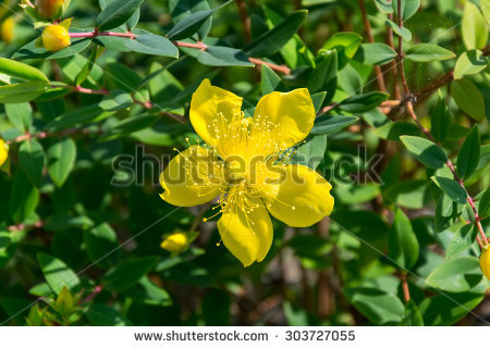 Hypericum calycinum clipart #16