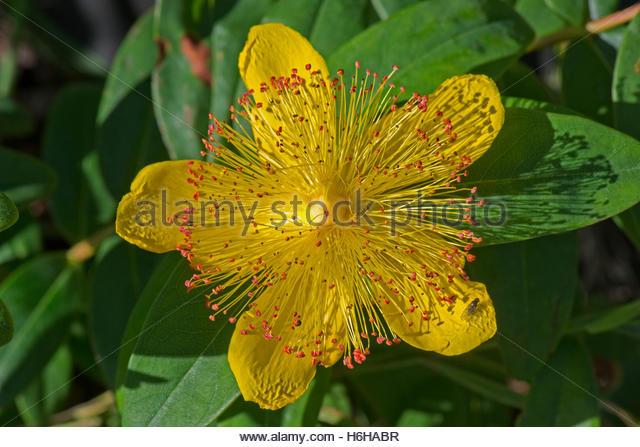 Hypericum calycinum clipart #11