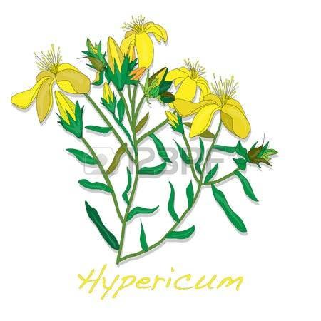 Hypericum clipart #12