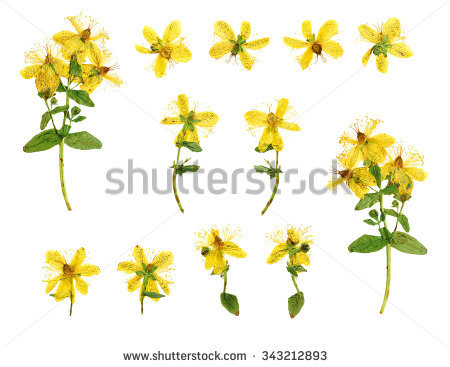 Hypericum Stock Photos, Royalty.