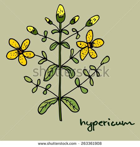 Hypericum Perforatum Stock Vectors & Vector Clip Art.