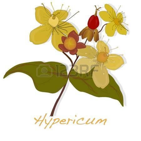 Hypericum clipart #15