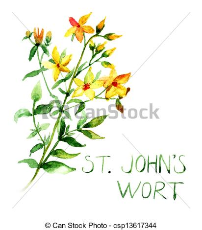Drawing of Common St John's Wort wild plant Hypericum perforatum.