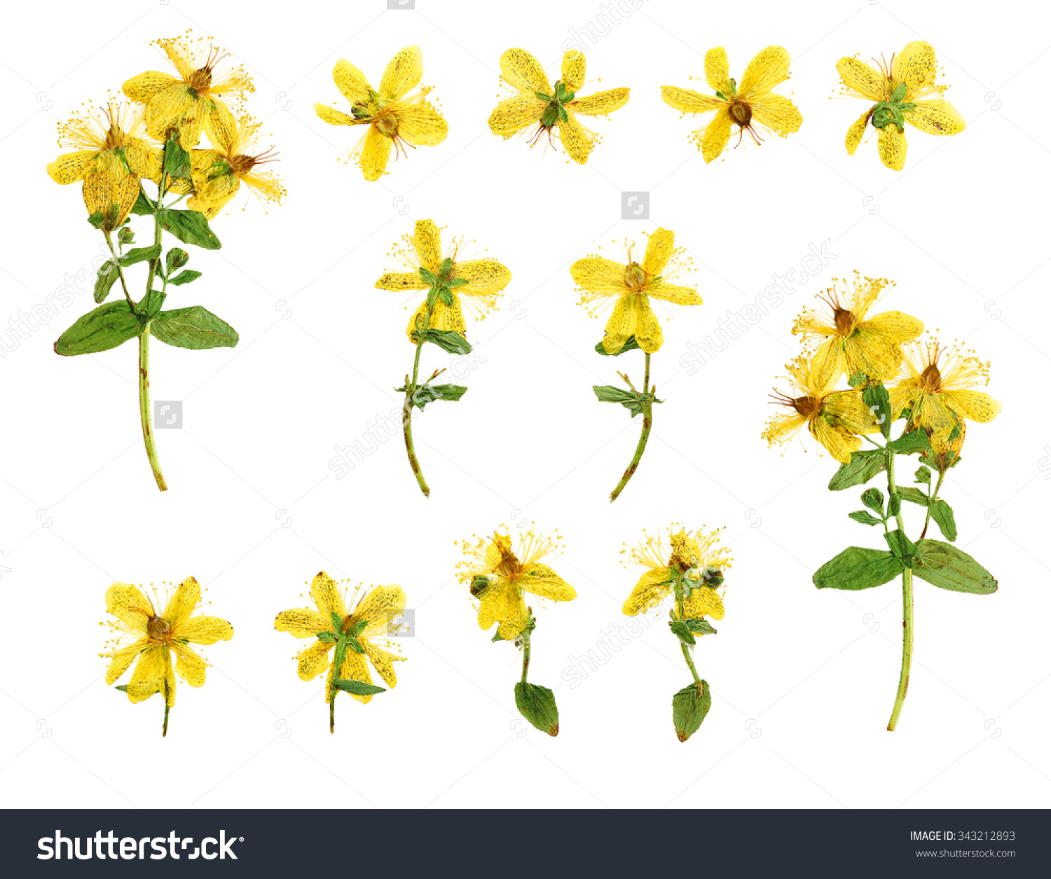 Set Of Pressed And Dried Flowers Hypericum Perforatum Photographed.