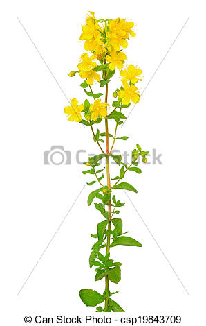 Stock Photography of St. John's wort (Hypericum perforatum) flower.