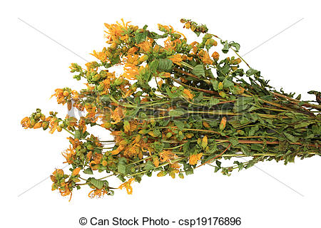 Stock Photographs of Hypericum perforatum.