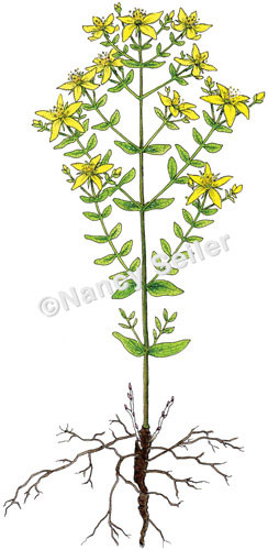 St. Johnswort, Hypericum perforatum : Nancy Seiler.