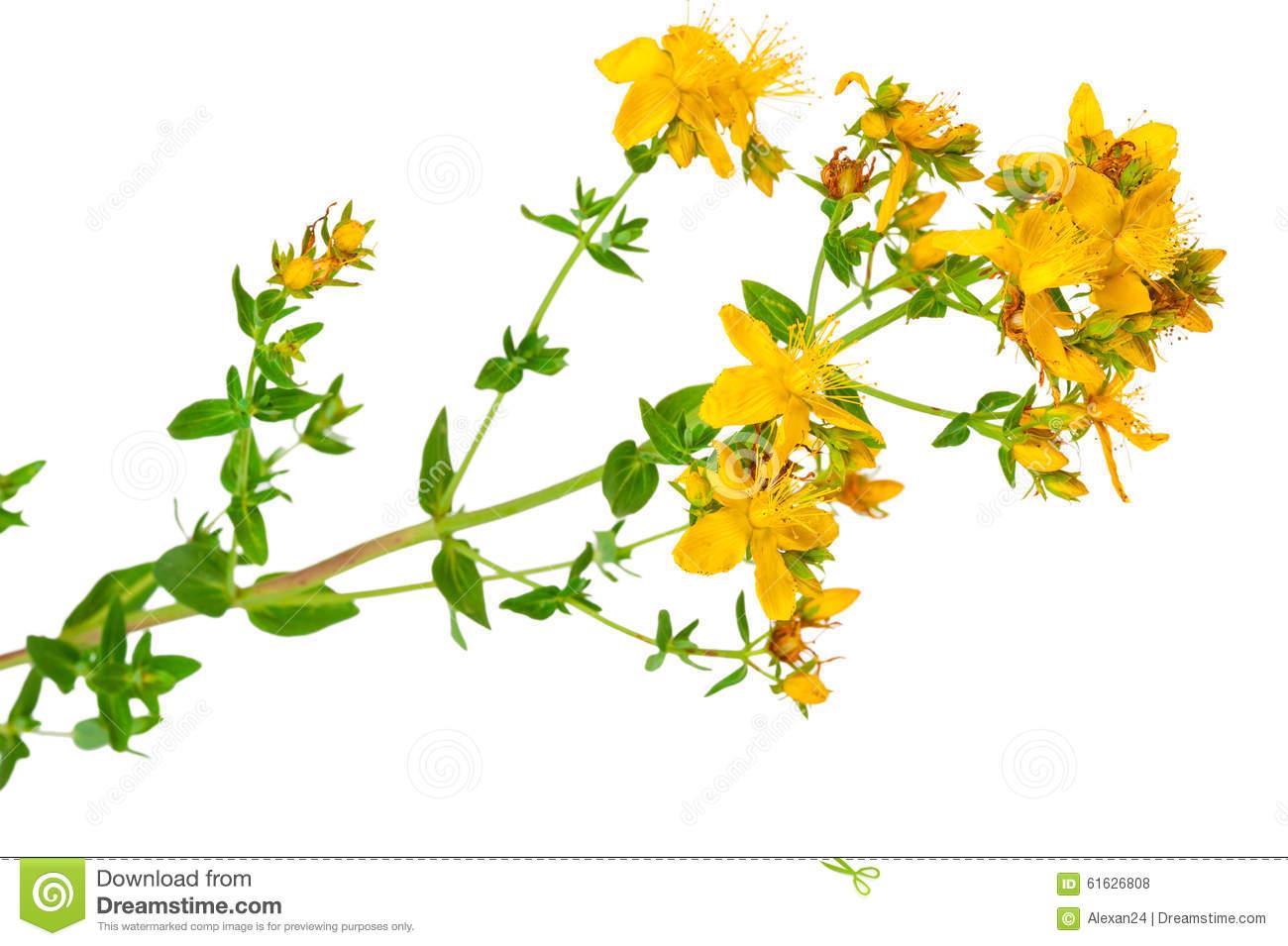 Medicinal Plant: Hypericum Perforatum. St. John's Wort Stock Photo.