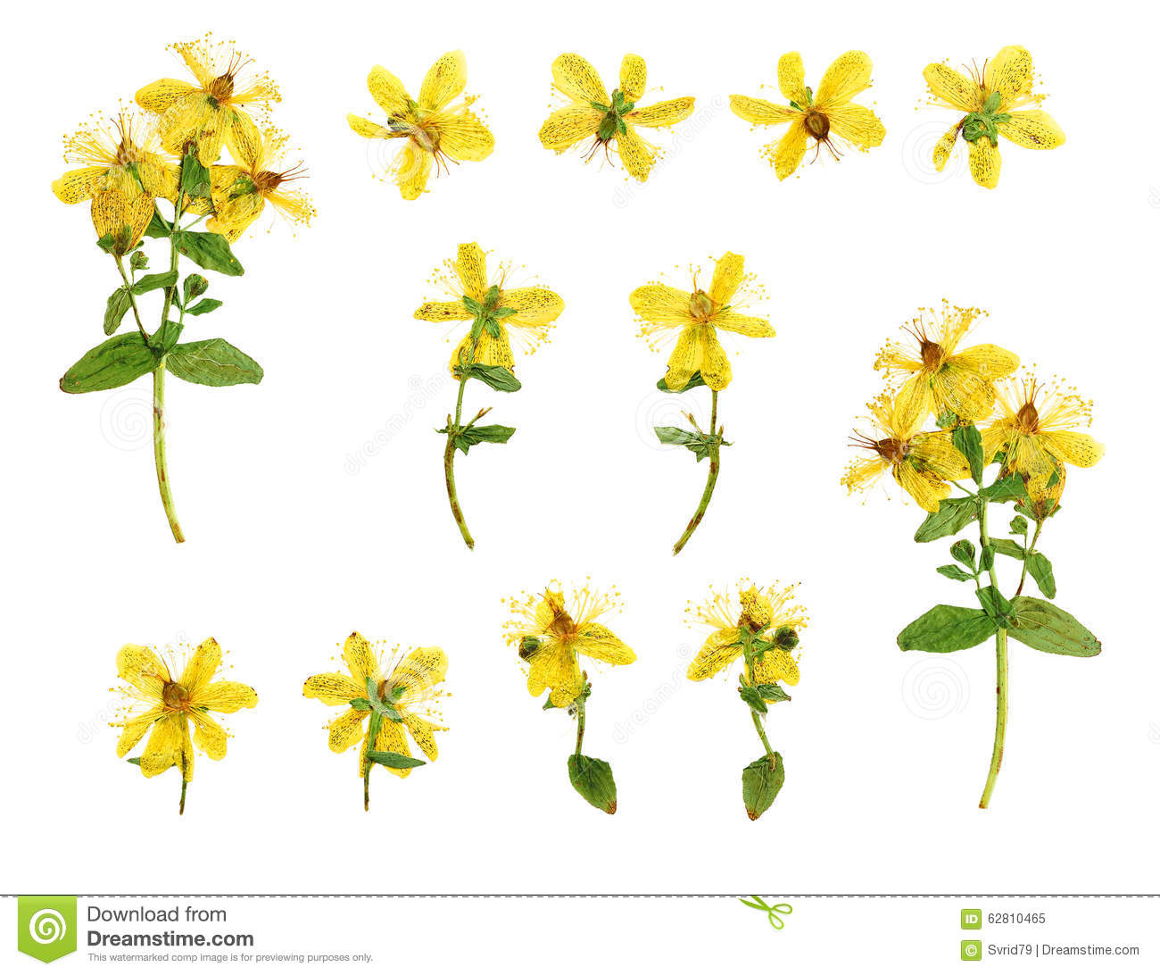 Set Of Pressed And Dried Flowers Hypericum Perforatum Stock Photo.