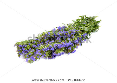 Fresh Hyssop Herb With Flowers Isolated On White Background.