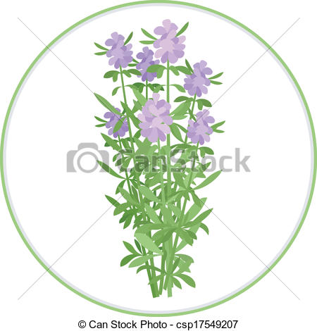 Vector Clipart of Hyssop Bunch.