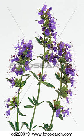 Stock Photograph of Hyssop (Hyssopus officinalis) cd220079.