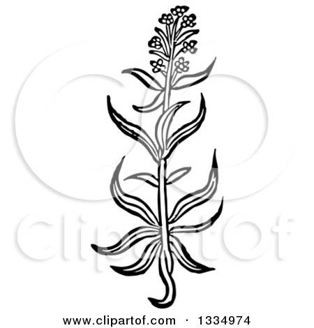 Clipart of a Black and White Woodcut Herbal Hyssop Plant.