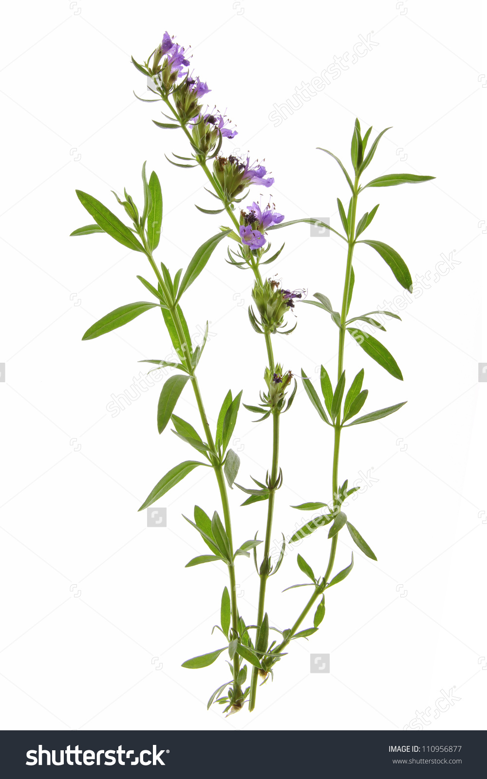 Hyssopus officinalis clipart #1