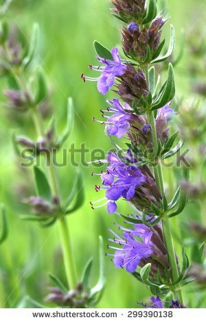 Hyssopus Officinalis Stock Photos, Royalty.