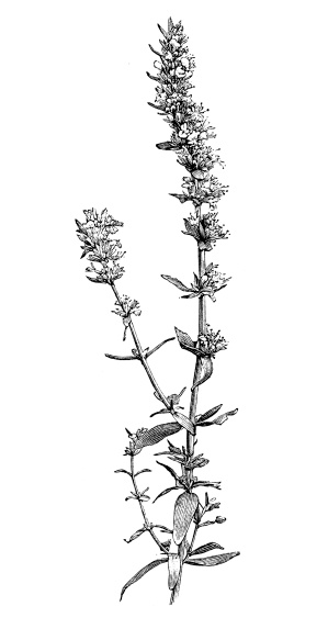Hyssopus officinalis clipart #7