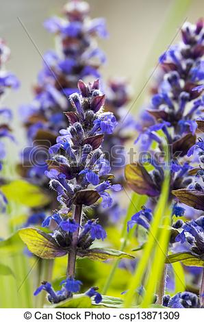 Stock Photography of Purple flowers of Hyssopus officinalis in my.