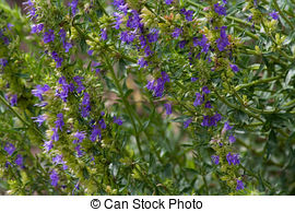 Stock Photography of Hyssopus officinalis or hyssop. Isolated on.