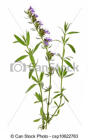Stock Image of Hyssop (Hyssopus officinalis).
