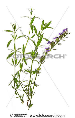 Stock Photography of Hyssop (Hyssopus officinalis) k10622771.