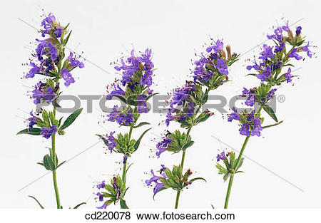 Pictures of Hyssop (Hyssopus officinalis) cd220078.