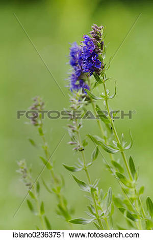 "Stock Photography of ""Herb Hyssop (Hyssopus officinalis), Schwaz."