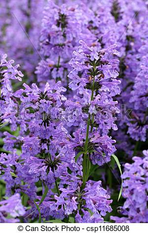 Stock Photography of Purple Hyssop Flowers (Hyssopus officinalis.