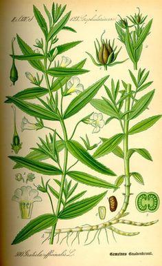Hyssopus officinalis clipart #19