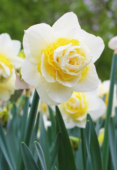 1000+ ideas about Narcissus Flower Pictures on Pinterest.