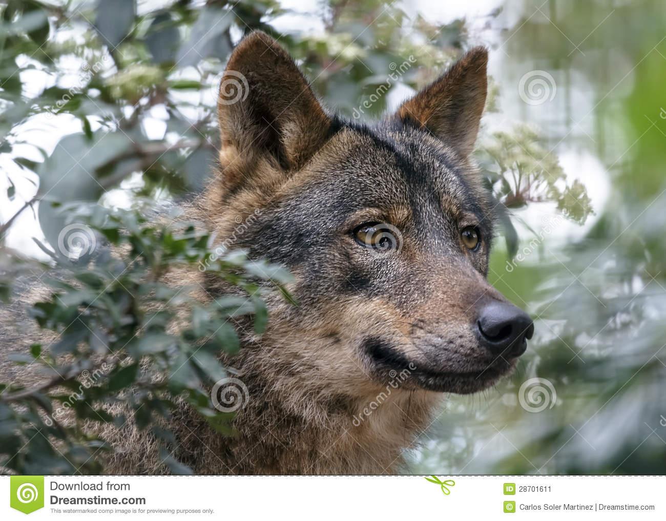 Iberian Wolf Stock Image.