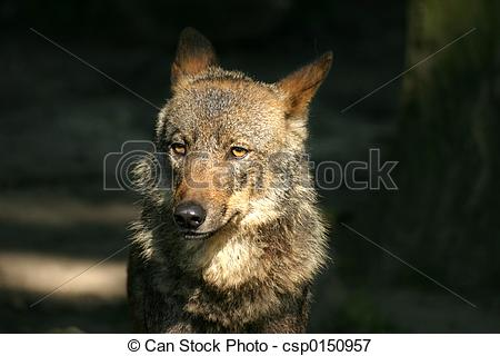 Picture of Iberian wolf.