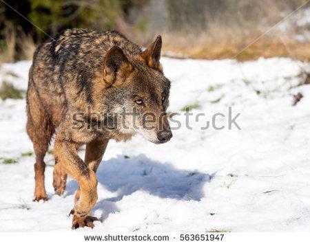 Iberian Wolf Stock Photos, Royalty.
