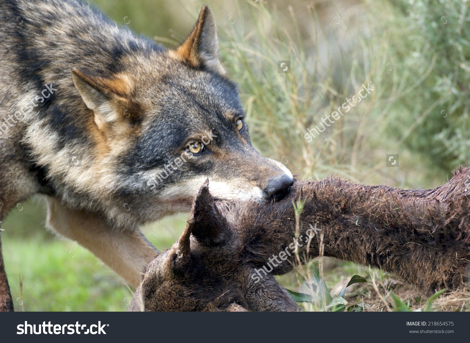 Alpha Male Iberian Wolf Canis Lupus Stock Photo 218654575.