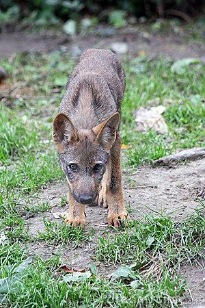 Iberian Wolf Pup Stock Photos.