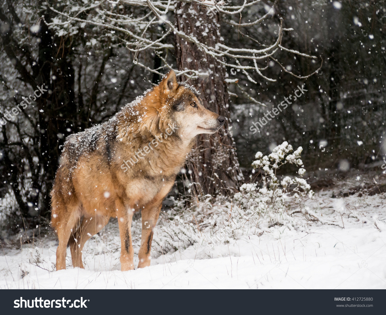 Iberian Wolf Male ( Canis Lupus Signatus) In The Snow In Winter In.