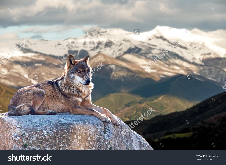 Iberian Wolf Lying On Rocks On Stock Photo 142756096.