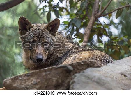 Stock Photo of Iberian Wolf k14221013.